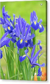 Acrylic Print featuring the photograph Dutch Iris 'professor Blaauw' Flowers by Tim Gainey