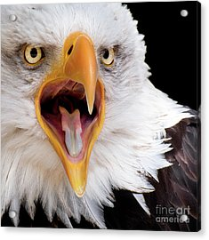 Eagle Calls Acrylic Print