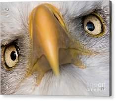 Eagle Eyes Acrylic Print