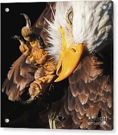 Eagle Scratch Acrylic Print