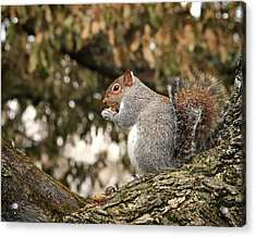 Acrylic Print featuring the photograph Eastern Gray Squirrel Plumping For Winter by Bill Swartwout Fine Art Photography
