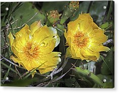 Acrylic Print featuring the photograph Eastern Prickley Pear Cactus Flower On Assateague Island by Bill Swartwout Fine Art Photography
