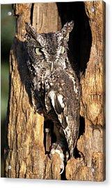 Eastern Screech Owl 92515 Acrylic Print