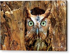 Eastern Screech Owl Perched In A Hole In A Tree Acrylic Print