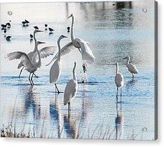 Egret Ballet 1400 Acrylic Print