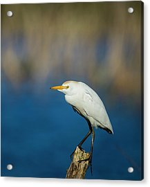 Egret On A Stick Acrylic Print