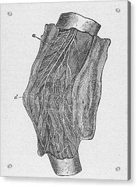 Elbow Diagram Acrylic Print by Hulton Archive
