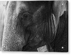 Elephant Acrylic Print by Andrew Dernie