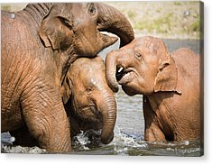 Acrylic Print featuring the photograph Elephant Family by Nicole Young