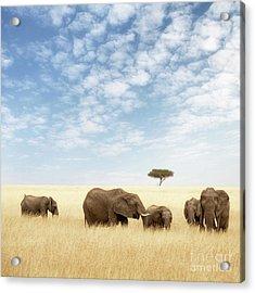 Elephant Group In The Grassland Of The Masai Mara Acrylic Print