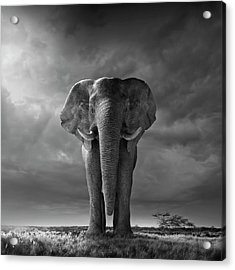 Elephant Walking In Grassy Field Acrylic Print