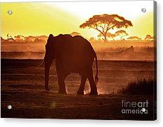Elephant Walking Through Amboseli At Sunset Acrylic Print