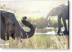 Elephants At A Watering Hole Acrylic Print