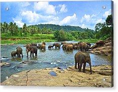 Elephants Bathing In River Acrylic Print by Imagebook/theekshana Kumara