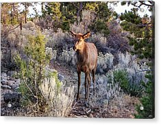 Acrylic Print featuring the photograph Elk Cow 2, Grand Canyon by Dawn Richards