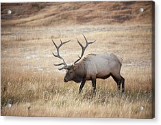 Acrylic Print featuring the photograph Elk In Yellowstone National Park by Mark Duehmig