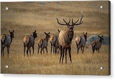 Elk Rut In Full Swing Acrylic Print