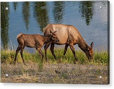 Acrylic Print featuring the photograph  Elks Grazing On The Madison River, Wy by Lon Dittrick