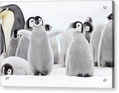 Emperor Penguin Acrylic Print by Martin Ruegner