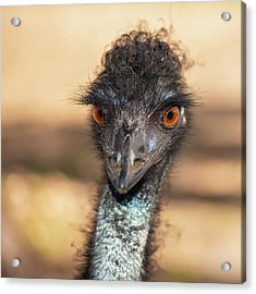 Emu By Itself Outdoors During The Daytime. Acrylic Print