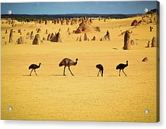 Emus In Nambung National Park Acrylic Print by Photography By Ulrich Hollmann