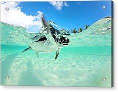 Endangered Baby Green Sea Turtle Acrylic Print
