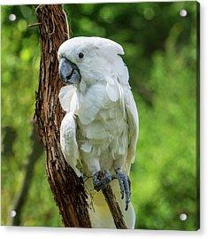 Endangered White Cockatoo Acrylic Print