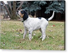 English Setter Puppy, 8 Weeks Acrylic Print by William Mullins