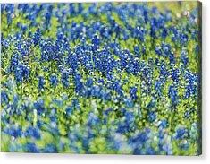 Ennis Bluebonnets Acrylic Print