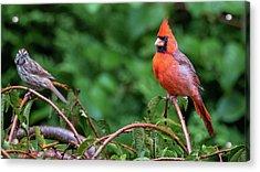 Envy - Northern Cardinal Regal Acrylic Print