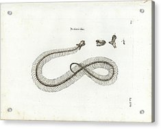 Acrylic Print featuring the drawing European Adder Skeleton by Johann Daniel Meyer
