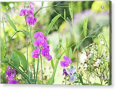 Acrylic Print featuring the photograph Everlasting Pea Flowers by Tim Gainey
