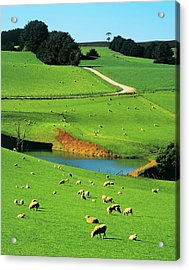 Ewes And Lambs Grazing At Thorpdale Acrylic Print