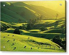 Ewes And Lambs Grazing At Trida Acrylic Print