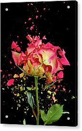 Exploding Rose Acrylic Print by Don Farrall