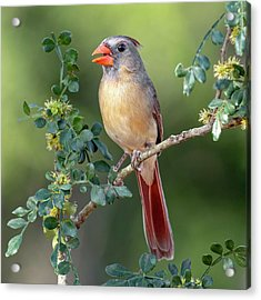 Fabulous Female Cardinal Acrylic Print