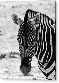Face Of Zebra Acrylic Print
