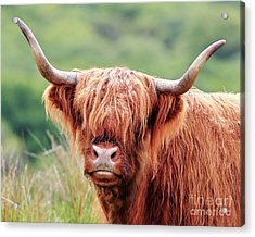 Face-to-face With A Highland Cow Acrylic Print