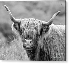 Face-to-face With A Highland Cow - Monochrome Acrylic Print