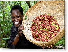 Fairtrade Coffee Farmer Harvesting Acrylic Print