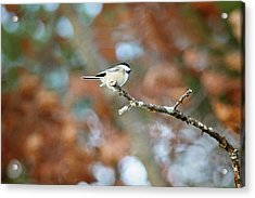 Acrylic Print featuring the photograph Fall Chickadee by Sue Collura