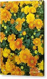 Acrylic Print featuring the photograph Fall Chrysanthemums Autumn Orange by Rachel Hannah