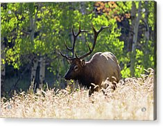 Acrylic Print featuring the photograph Fall Color Rocky Mountain Bull Elk by Nathan Bush
