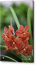 Family Of Orange Spotted Orchids Acrylic Print