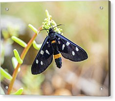 Fegea - Amata Phegea -black Insect With White Spots And Yellow Details Acrylic Print