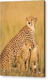 Female Cheetah Acynonix Jubatus With Acrylic Print by Winfried Wisniewski