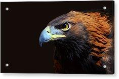 Female Golden Eagle Acrylic Print by A L Christensen
