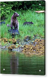 Female Grizzly Bear And Cubs Acrylic Print
