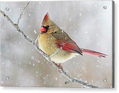 Female Northern Cardinal In Snow Acrylic Print by Adam Jones