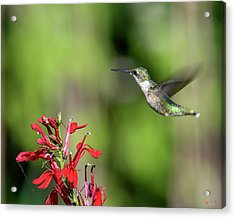 Female Ruby-throated Hummingbird Dsb0320 Acrylic Print